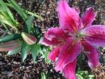 Lillies1