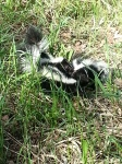 How many skunks are there?